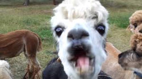 Alpacas Images