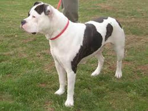 American Bulldog Image