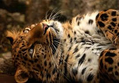 Amur Leopard Photo