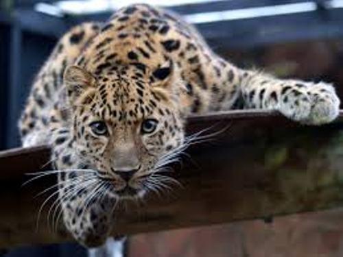 Amur Leopard Pic