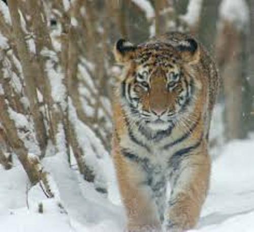 Amur Tiger Facts