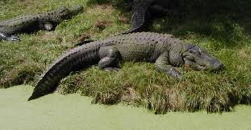 Facts about Alligators