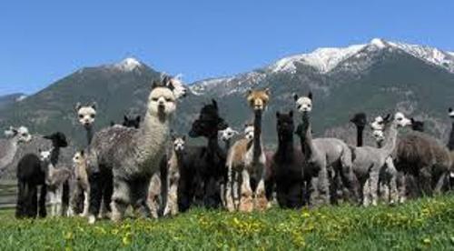 Facts about Alpacas