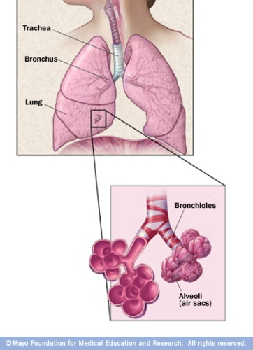 Facts about Alveoli