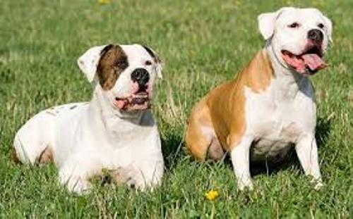 Facts about American Bulldogs