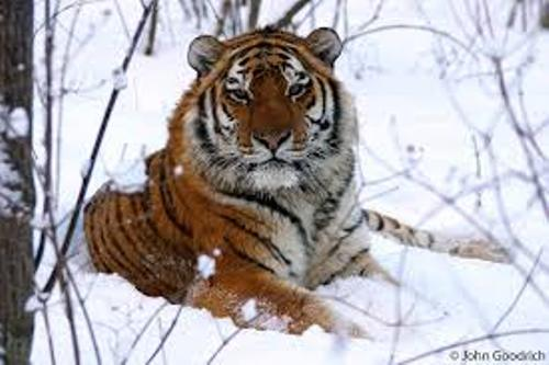 Facts about Amur Tigers