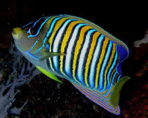Angelfish Facts