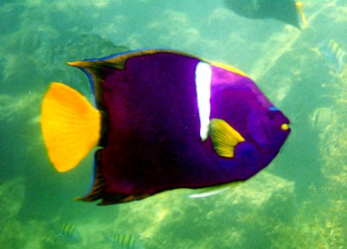 Angelfish Pic