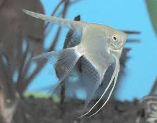 Angelfish Silver