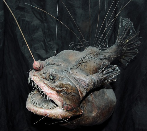 10 facts about anglerfish fact file for Where do angler fish live