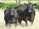 10 Facts about Angus Cattle