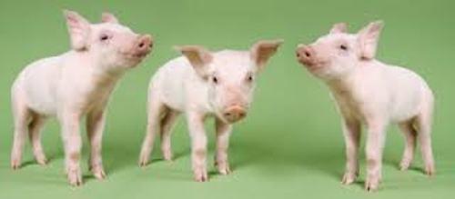 Animal Cloning Pig