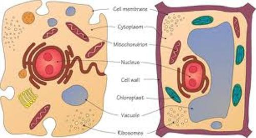 Animal and Plant Cell Image