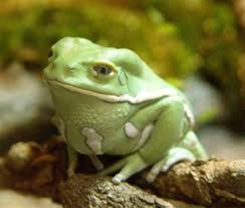 Animalia Frog