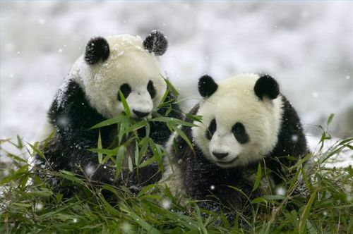 Animalia Panda