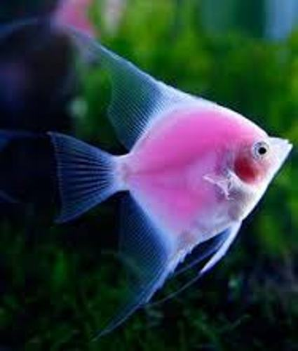 facts about Angelfish