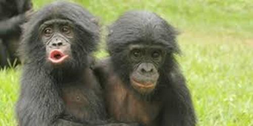 Ape Pic