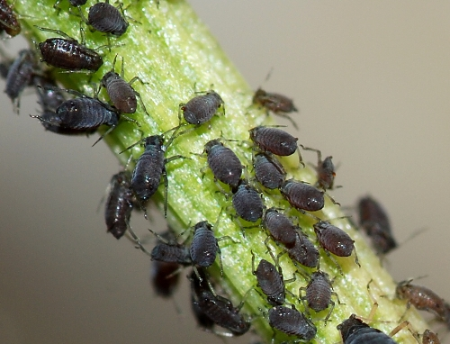 Aphids In Black