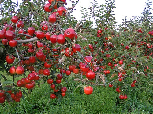 Apple Trees in Red