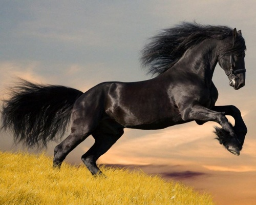 Arabian Horses Black