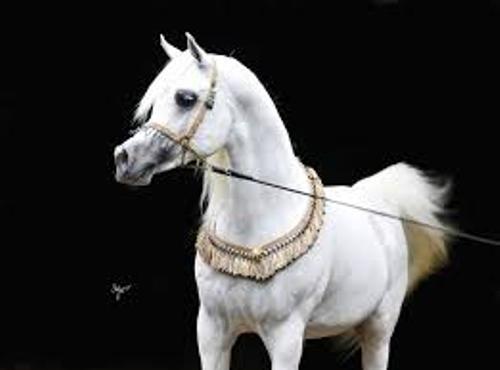Arabian Horses White