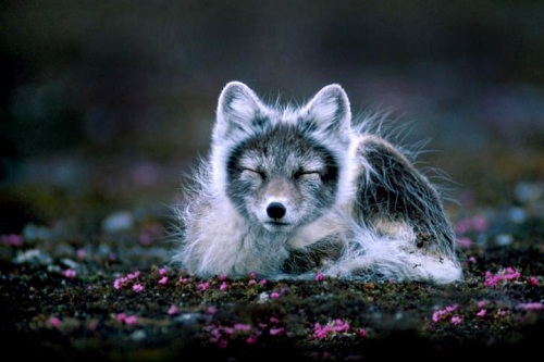 Arctic Fox Cute