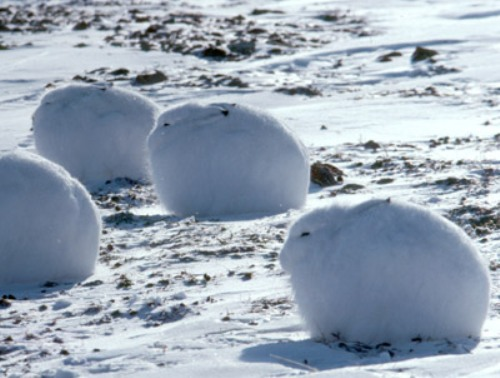 Arctic Hare Pic