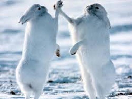 Arctic Hare Pictures