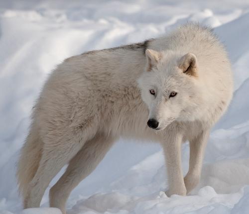 Arctic Wolves Color