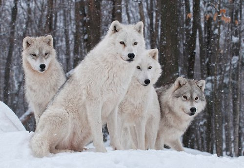 Arctic Wolves White