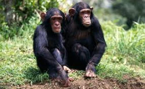Facts about Apes