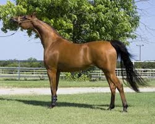 Facts about Arabian Horses