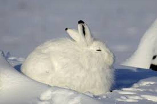 Facts about Arctic Hares