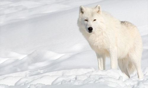 Facts about Arctic Wolves