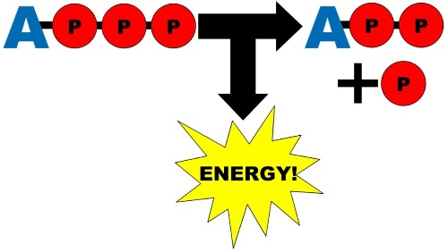 ATP and Energy