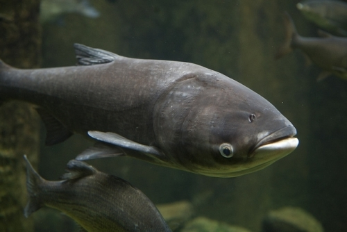 Asian Carp Pictures