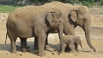 10 Facts about Asian Elephants