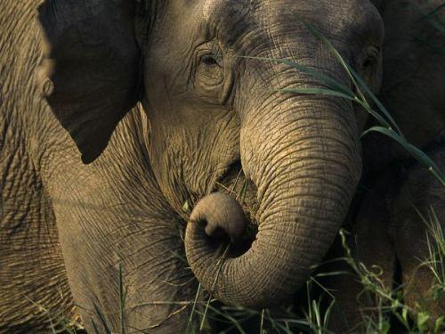 Asian Elephant Pic
