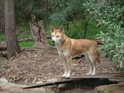 Australian Animal pic