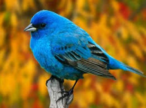 Aves Blue