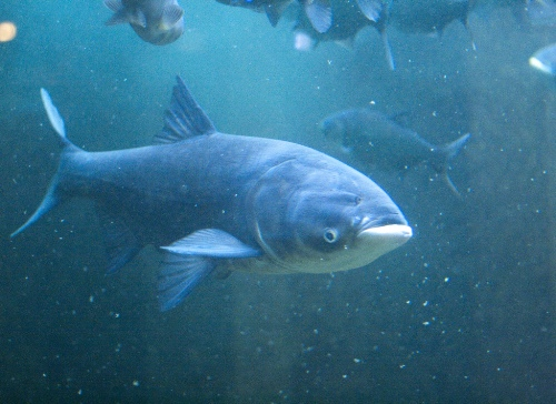 Facts about  Asian Carp