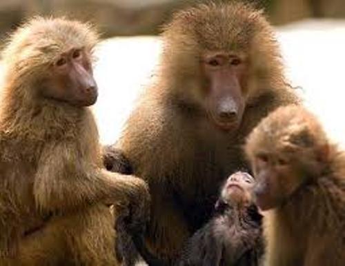 Troop of Baboons
