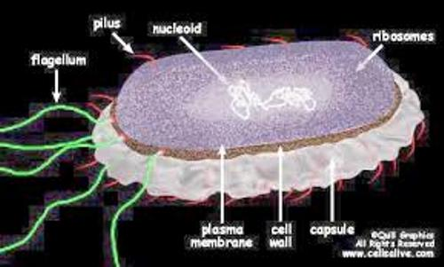 Bacterial Cell Pic