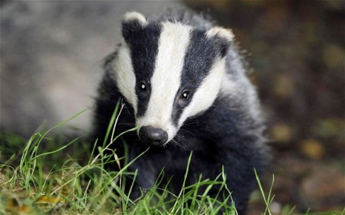 Badger Animal