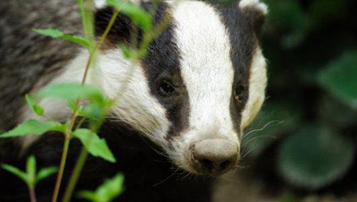 Badger Image
