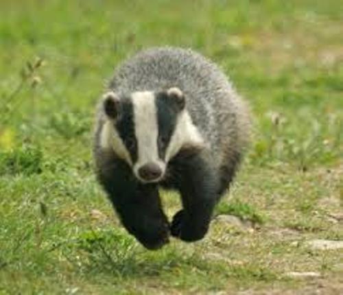 Badger Jumps