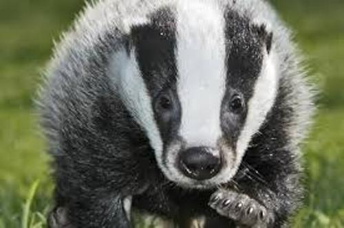 Badger Pic