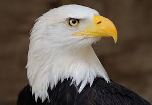Bald Eagle Color