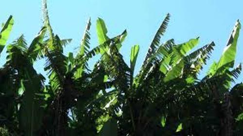 Banana Tree Facts