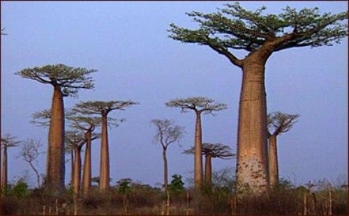 Baobab Tree Facts